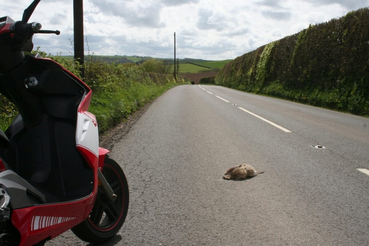 Don't swerve to avoid pheasants (we didn't squash this one, it was already there)